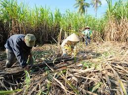 Sản lượng đường của Thái Lan thấp nhất trong 9 năm do hạn hán