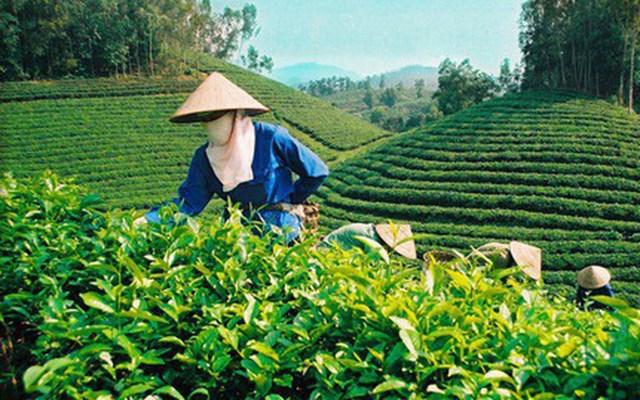 Hỗ trợ thúc đẩy phát triển sản xuất chè bền vững