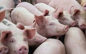 Giá lợn hơi hôm nay 20/7: Tăng nhẹ trên cả 3 miền