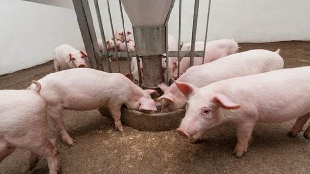 Giá lợn hơi ngày 4/8/2020: Biến động nhẹ  trên cả 3 miền từ 1.000 - 2.000 đồng/kg