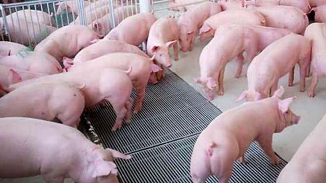 Giá lợn hơi ngày 5/8/2020: Miền Bắc giảm dưới mốc 90.000 đồng/kg