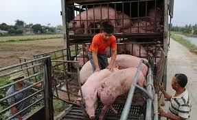 Giá lợn hơi ngày 10/8/2020, giảm nhẹ so với phiên đầu tuần