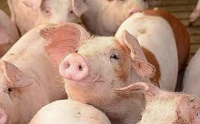 Giá lợn hơi ngày 11/8/2020 cả 3 miền tiếp tục giảm 1.000 - 4.000 đồng/kg