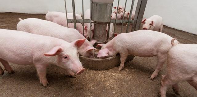 Giá lợn hơi ngày 19/8 tiếp tục giảm nhẹ tại miền Nam