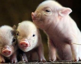 Giá lợn hơi ngày 2/9/2020: Tiếp tục giảm 1.000 - 3.000 đồng/kg