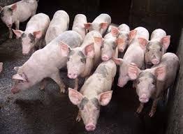 Giá lợn hơi ngày 9/9/2020:Tăng nhẹ ở 2 miền Bắc- Nam