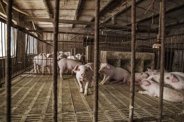 20.000 trang trại lợn không đủ hạ giá thịt ở Trung Quốc