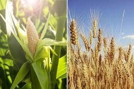 Nhà đầu cơ đặt cược cao cho thị trường nông sản trong các phiên giao dịch đầu năm