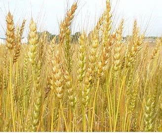 Biến động ngũ cốc hàng tuần: Xu hướng sản lượng thấp hơn