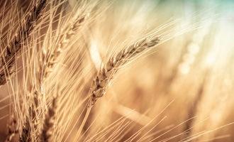 Nga tăng thuế xuất khẩu lúa mì theo công thức mới