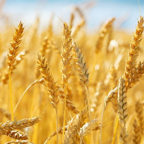 Dự trữ lúa mì của Trung Quốc đã chạm đỉnh vào năm 2020