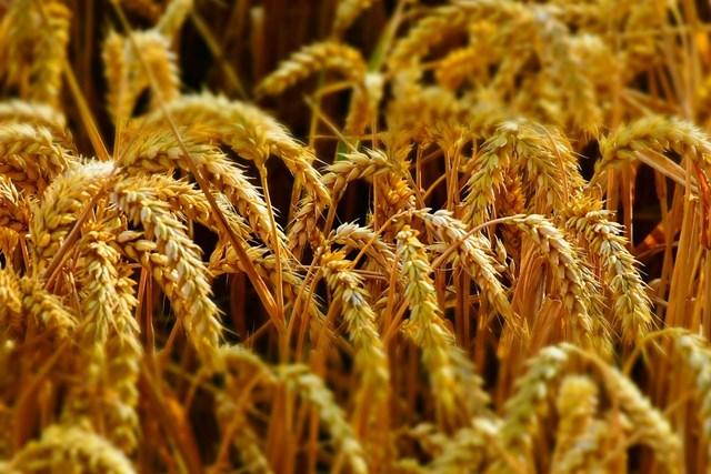 TT ngũ cốc thế giới ngày 12/03/2021: Giá lúa Mỳ ổn định do kỳ vọng về thời tiết được cải thiện
