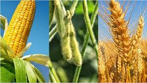 TT ngũ cốc thế giới ngày 17/03/2021: Ngô kéo dài đà tăng giá