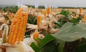 Diễn biến thị trường ngô, đậu tương trước báo cáo của USDA
