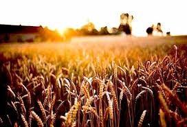 Năm 2021: Dự kiến sản lượng ngô và lúa mì của Trung Quốc tăng, đậu tương giảm