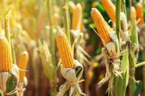 Giá ngũ cốc thế giới ngày 26/05/2021:Ngô giảm, lúa mì và đậu tương tăng
