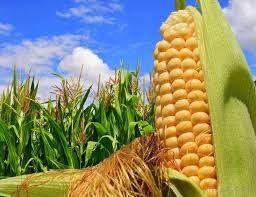 Giá ngũ cốc thế giới hôm nay 29/05/2021: Ngô giảm giá sau một tuần đầy biến động