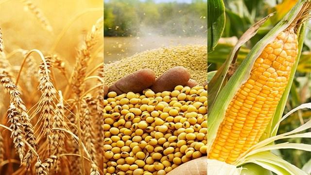 Giá ngũ cốc thế giới ngày 10/6: Lúa mì giảm do thời tiết thuận lợi
