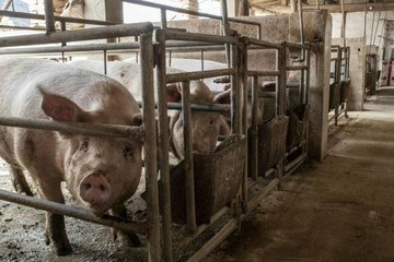 Trung Quốc bắt đầu sợ thừa thịt lợn