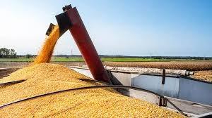Giá ngô, đậu tương giảm do thời tiết được cải thiện