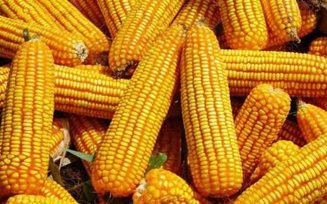 Các đợt mưa giúp cho cây trồng tại Mỹ phát triển mạnh