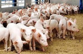 Sản lượng thịt lợn quý II của Trung Quốc tăng lên mức cao nhất trong ít nhất 7 năm