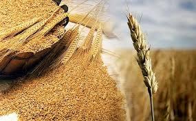 Giá lúa mì đạt mức tăng hàng tuần lớn nhất trong 4 năm