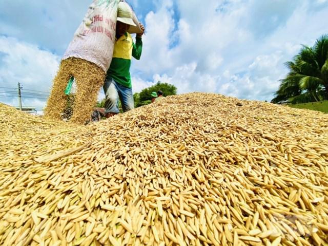 Đề xuất tăng thu mua dự trữ, lúa hè thu có giải được điểm nghẽn đầu ra?
