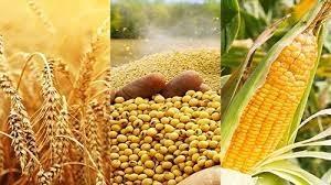 Lúa mì giảm giá sau đợt phục hồi mạnh mẽ, đậu tương tăng giá phiên thứ 2