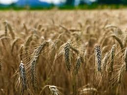 Lúa mì Pháp bị ảnh hưởng bởi các vấn đề về chất lượng