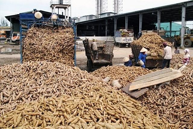 Giá sắn nguyên liệu tại các vùng trồng không có nhiều biến động