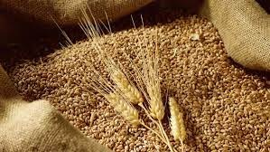 Giá ngũ cốc ngày 15/9: Lúa mì giảm 2% do lo ngại về nguồn cung toàn cầu