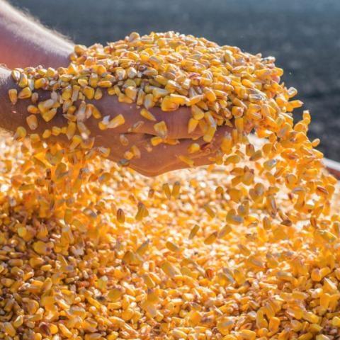 Giá ngô Trung Quốc có thể giảm do nhập khẩu ổn định và vụ mùa bội thu