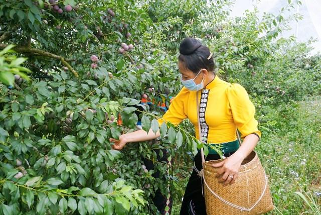 Sơn La ra mắt thương hiệu mận hậu Ruby Sơn La