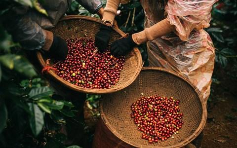 Thị trường cà phê Việt: Giá tăng, sản lượng giảm