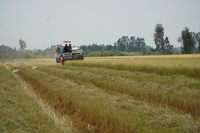 Tránh đứt gãy chuỗi cung ứng ngành hàng lúa gạo
