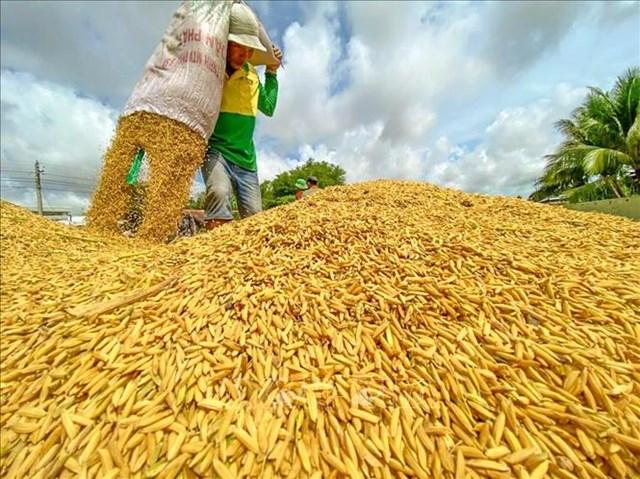 Tiêu thụ lúa tại Đồng bằng sông Cửa Long đã có nhiều cải thiện