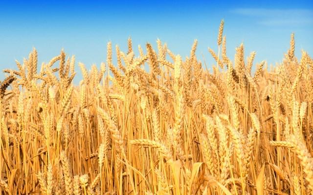Nhập khẩu lúa mì tăng mạnh