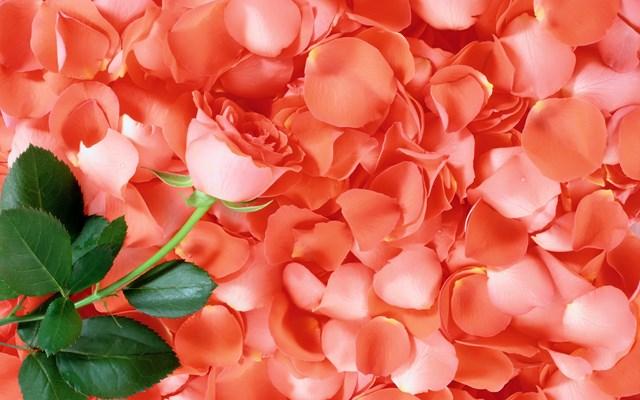 Công ty Hồng Công muốn tìm nhà cung cấp cánh hoa hồng và quế