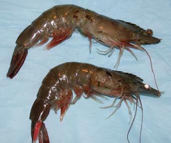 Tôm, cá nước ngọt tại chợ Sài Gòn tăng giá