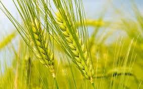 Nhập khẩu lúa mì 10 tháng đầu năm tăng gấp đôi cùng kỳ