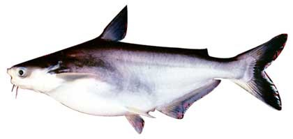 ĐBSCL: Diện tích nuôi mới cá tra giảm 9%