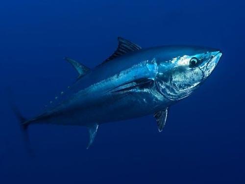 Giá cá ngừ tăng mạnh ngay trong chuyến biển đầu tiên năm 2017