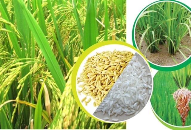 Giá lúa nếp vụ Đông Xuân giảm