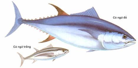 Cá ngừ XK chuyển hướng sang thị trường mới nổi