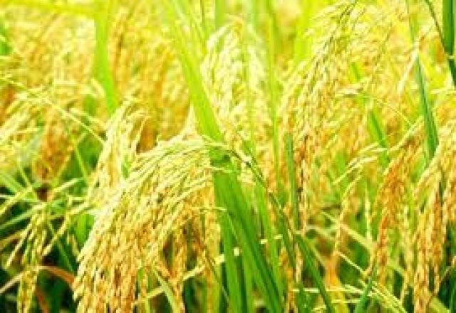 Lúa thơm, lúa nếp có giá cao nhất