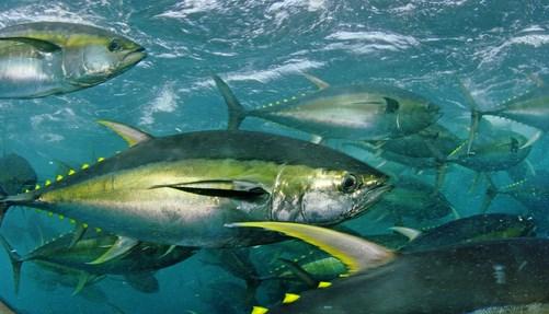Xuất khẩu cá ngừ chế biến đóng hộp tăng 39,7%
