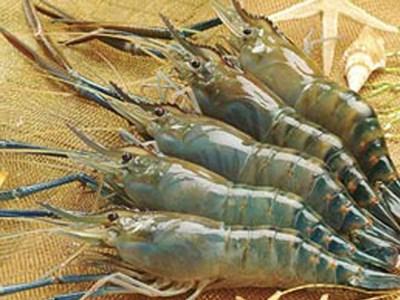 Nhật Bản vươn lên dẫn đầu nhập khẩu tôm của Việt Nam