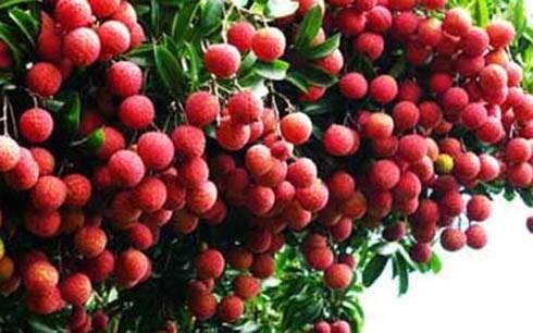 Dự kiến xuất khẩu 40 nghìn tấn vải thiều Bắc Giang sang Trung Quốc