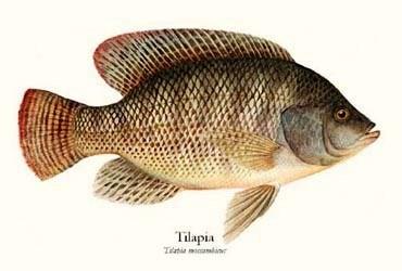 Bờ Biển Ngà tạm thời cấm nhập khẩu cá Tilapia